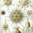 Phaeodarea von Ernst Haeckel, Zooplankton